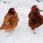 Licitación suministro de carnes de ave para Paradores